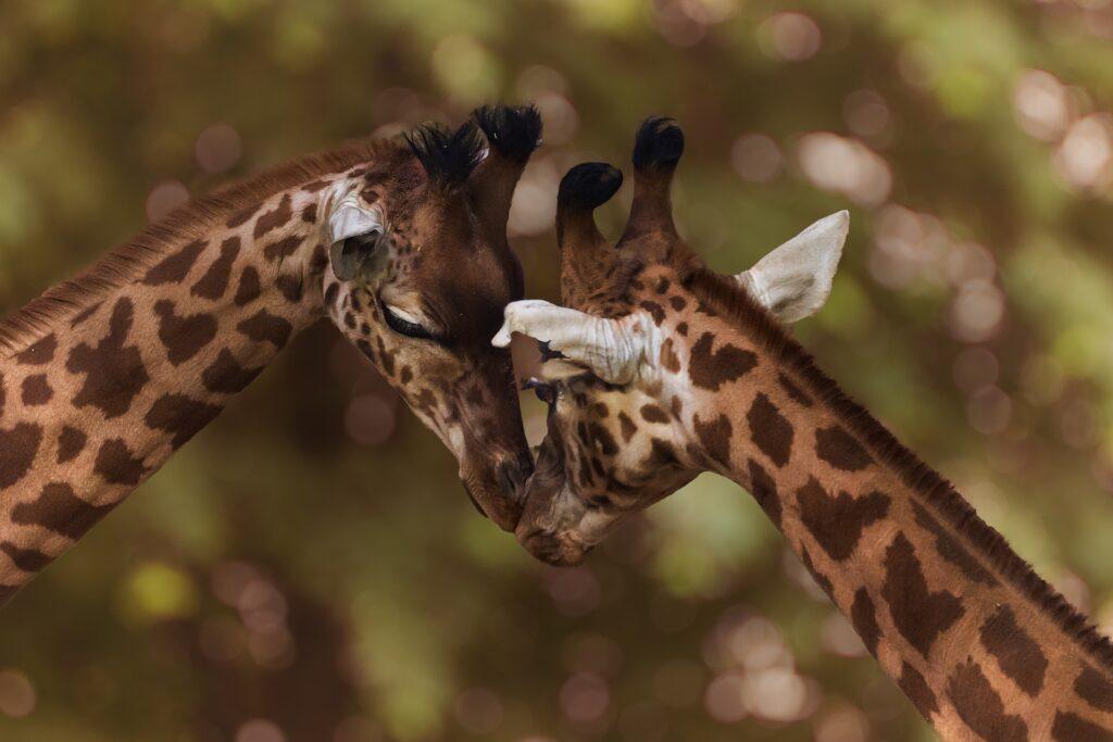Giraffen auf Augenhöhe beschnuppern sich zärtlich