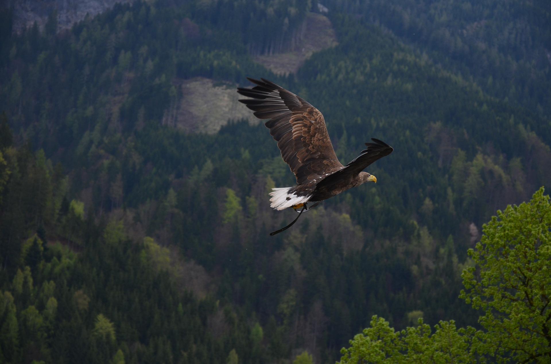 Adlerperspektive - Adler kreist über Mittelgebirgswald